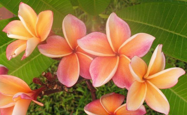 plumeria uk exotic tropical flowers and plants from hawaii, Beautiful flower