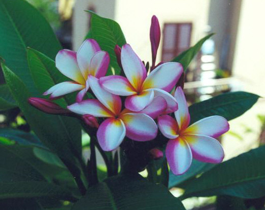 Plumeria uk exotic tropical flowers and plants from hawaii for Where can i buy rainbow roses in the uk